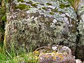 Lichen and Moss on Shoreline Boulder - geograph.org.uk - 1305734.jpg
