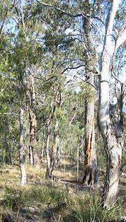 Three eucalyptus trees that were struck by lightning, Walcha, NSW