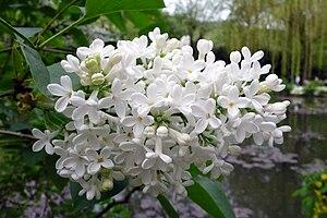 Français : Lilas blanc dans le jardin Claude M...