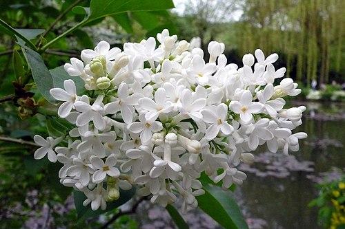 Lilas blanc.jpg