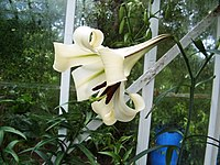 Lilium brownii (1)