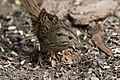 Lincoln's Sparrow National Butterfly Center Mission TX 2018-02-28 15-36-10 (25792173297).jpg