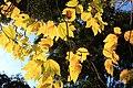 Lindera triloba (autumn leaf color s4).jpg
