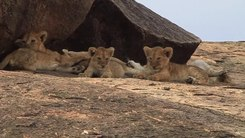 Податотека:Lion cubs (Panthera leo).webm