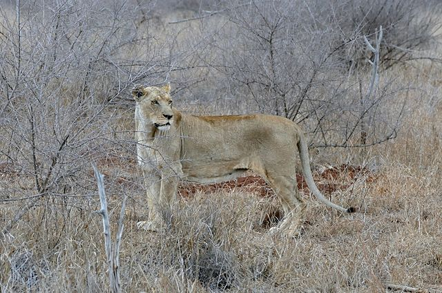 Filelioness Panthera Leo In The Lions Enclosure 31656589284