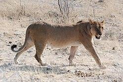 d473aacaa30c3 Uma leoa sul africana no Parque Nacional de Etosha na Namíbia.