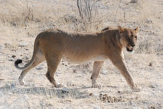 Lion - A Southern African lioness photographed in Etosha National Park, Namibia