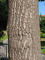 Liriodendron bark old 2.jpg