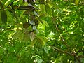 Litsea floribunda (5594983029).jpg