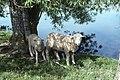 Livestock14.tif (24010235377).jpg