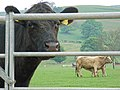 Livestock below Bredon Hill - geograph.org.uk - 414431.jpg