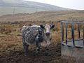 Livestock on Todmorden Moor - geograph.org.uk - 110745.jpg