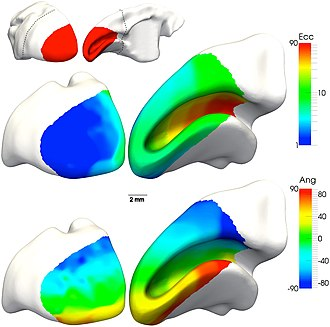 Retinotopy - Location and visuotopic organization of marmoset primary visual cortex (V1)