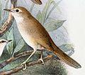 Locustella luteoventris 1889.jpg