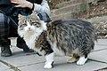 Long-haired cat in Yalta (8169142183).jpg