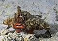 Longnose batfish.jpg