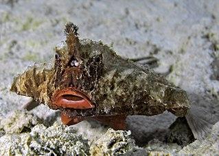 The batfish