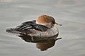 Lophodytes cucullatus (Hooded Merganser - Kappensäger) - Weltvogelpark Walsrode 2012-03.jpg
