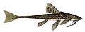 Loricariichthys anus Orbigny.jpg