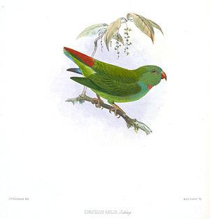 Pygmy hanging parrot - Image: Loriculus Exilis Keulemans