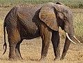Loxodonta-africana-Amboseli.JPG