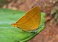 Loxura atymnus - Yamfly 21.JPG