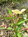 Ludwigia octovalvis (Onagraceae) - Flower and leaves.jpg