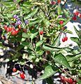 Lycium barbarum Box Thorn თეთრეკალა (2).JPG