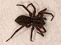 Lycosidae sp. (37223433874).jpg