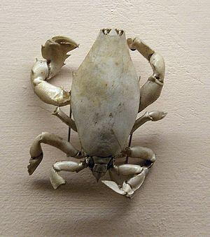 Raninoida - Lyreidus tridentatus