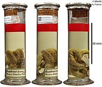 Lysasterias perrieri (MNHN-IE-2014-265).jpg