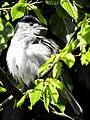 Mönchsgrasmücke (18) (35020042325).jpg