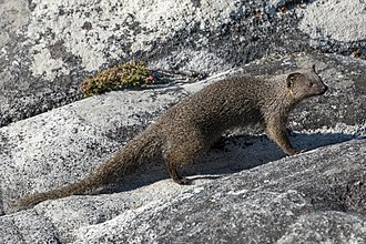 Cape gray mongoose - A Cape gray mongoose on the plateau of Table Mountain