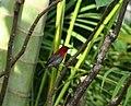MR crimson sunbird - Flickr - Lip Kee.jpg