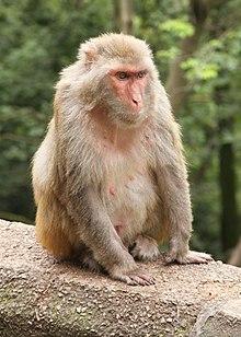 Macaca mulatta en Guiyang.jpg