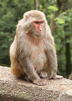 Rhesus macaques on Qianling Shan in the outski...