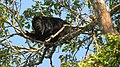 Macaco guariba - Alouatta belzebul.jpg