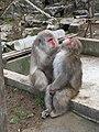 Macaque, Snow Monkey (15672636890).jpg