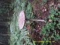 Macrolepiota procera 89484130.jpg