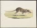 Macroscelides typicus - 1700-1880 - Print - Iconographia Zoologica - Special Collections University of Amsterdam - UBA01 IZ20900063.tif