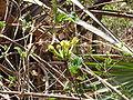 Macrosphyra longistyla 0017.jpg