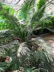 Macrozamia riedlei (in a greenhouse) 02.JPG