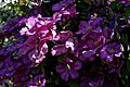 Magenta clematis at Boreham, Essex, England 2 lighter render (cropped).jpg