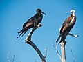 Magnificent Frigatebirds. He and she (7126106881).jpg
