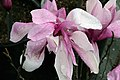 Magnolia Jane 11zz.jpg