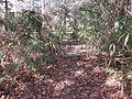 Magnolia Lane Plantation Path.JPG