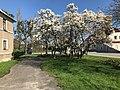Magnolia in Ustroń.jpg