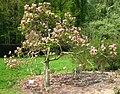 Magnolia liliiflora 'Nigra' by Line1.jpg