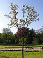 Magnolia soulangeana MdE 1.jpg