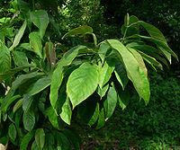Magnolia zenii 2